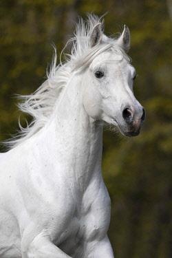 IBXJMO05777020 Thoroughbred Arabian grey stallion , portrait, Austria, Europe