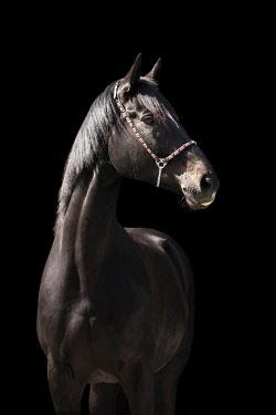 IBXJMO05798864 Portrait of a brown Trakehner mare with halter in front of a black background, Waldviertel, Austria, Europe