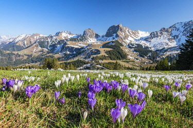 IBXROH05773071 Blossoming crocus meadow near Gurnigelpass, Bernese Alps with N�nenenflue, Gantrisch, Berg Ochsen, Bernese Oberland, Canton Bern, Switzerland, Europe