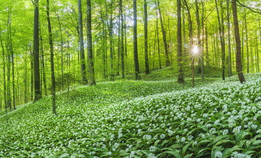 Flowering Ramsons (Allium ursinum), beech forest, Sihl forest near Zurich, Canton of Zurich, Switzerland, Europe