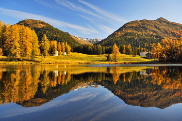 IBXSHU05644536 Autumnally discoloured larch forest reflected in Schwarzsee, Laret, Davos, Canton Graubunden, Switzerland, Europe