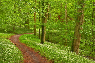 IBXSHU05769952 Hiking trail through Common beeches forest (Fagus sylvatica), with flowering Ramsons (Allium ursinum), Sihlwald Wilderness Park, Canton Zurich, Switzerland, Europe