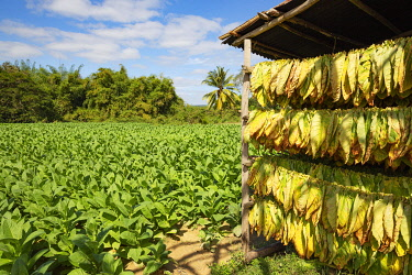 IBXTDR05778643 Cultivated tobacco (Nicotiana tabacum), tobacco leaves hung to dry and tobacco plantation behind, Pinar del RI�o Province, Cuba, Central America