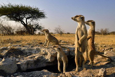 IBXTPS05803583 Family Meerkat (Suricata suricatta), standing at the entrance of their underground building and staring watchfully into the distance, Makgadikgadi salt pans, Botswana, Africa
