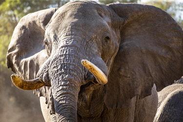 BOT5696AW Elephant, Boteti River, Botswana
