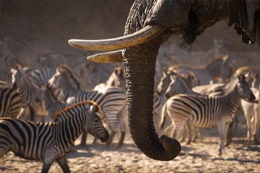 BOT5697AW Zebra and Elephant, Boteti River, Botswana