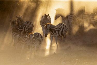 BOT5708AW Zebra migration, Boteti River, Botswana