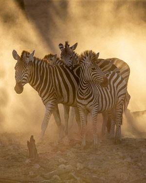 BOT5709AW Zebra migration, Boteti River, Botswana