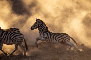 BOT5711AW Zebra migration, Boteti River, Botswana