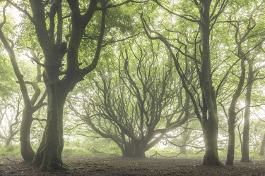 ENG17669AW Creepy deciduous woodland in fog, Cornwall, England. Summer (July) 2020.