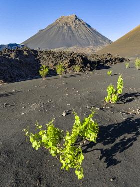 AF08MZW0112 Traditional viniculture in the Cha de Caldeiras,. Stratovolcano mount Pico do Fogo. Fogo Island (Ilha do Fogo), part of Cape Verde