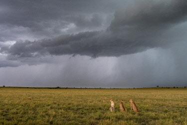 AF21BJY0209 Africa, Kenya, Maasai Mara National Reserve. Rainstorm and cheetahs in grass.