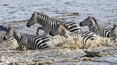 AF21BJY0230 Africa, Kenya, Maasai Mara National Reserve. Nile crocodiles attacking zebras crossing Mara River.