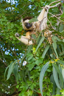 AF24IHO0035 Madagascar, Berenty, Berenty Reserve. Verreaux's sifaka hangs in a non-native eucalyptus tree while eating the leaves of the native tree next to it.