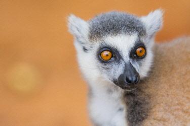 AF24IHO0067 Madagascar, Berenty, Berenty Reserve. Ring-tailed lemur.