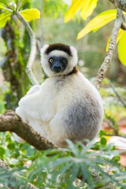 AF24IHO0083 Madagascar, Berenty, Berenty Reserve. Verreaux's sifaka resting in a tree.