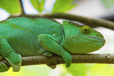 AF24IHO0112 Madagascar, Marozevo, Peyrieras Reptile Farm. Parson's chameleon.