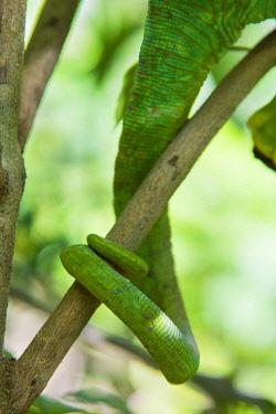 AF24IHO0116 Madagascar, Marozevo, Peyrieras Reptile Farm. Parson's chameleon.