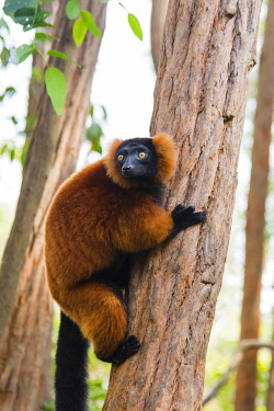 Madagascar, Andasibe, Vakona Lodge, Lemur Island. Red ruffed lemur (Varecia rubra) in a tree.