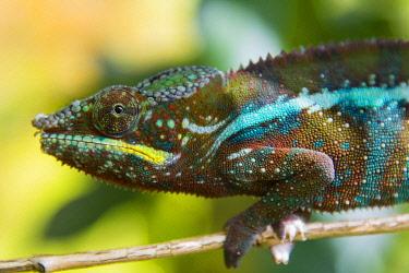 AF24IHO0120 Madagascar, Marozevo. Peyrieras Reptile Farm, panther chameleon.