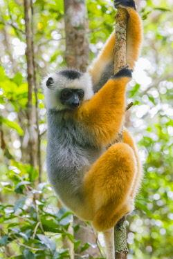 AF24IHO0134 Madagascar, Andasibe, Vakona Lodge, Lemur Island. Diademed sifaka (Propithecus diadema) in a tree.