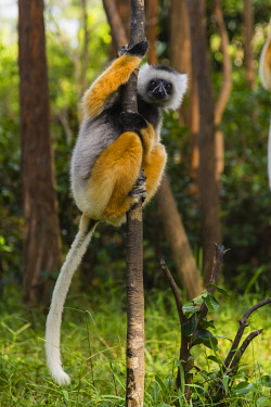 AF24IHO0160 Madagascar, Andasibe, Vakona Lodge, Lemur Island. Diademed sifaka (Propithecus diadema) in a tree.