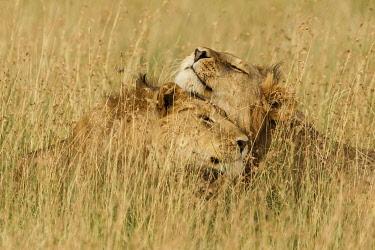 AF45AJE0290 Adult black maned Lion, Serengeti National Park, Tanzania, Africa.