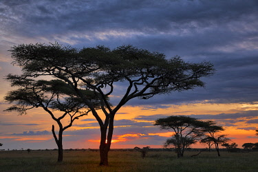 AF45AJE0292 Sunset and silhouetted trees, Serengeti National Park, Tanzania.