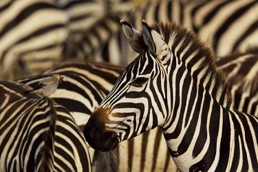 AF45AJE0294 Burchell's zebra, Serengeti National Park, Tanzania, Africa.