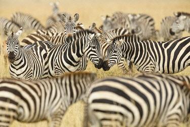 AF45AJE0307 Burchell's zebra, Serengeti National Park, Tanzania, Africa.