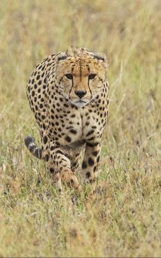 AF45AJE0312 Cheetah, Serengeti National Park, Tanzania.