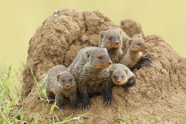 AF45AJE0316 Mother and young banded mongoose on termite mound, Serengeti National Park, Tanzania, Africa.