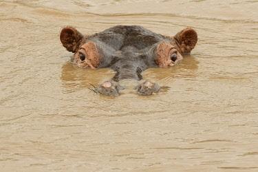 AF45AJE0324 Hippopotamus, Serengeti National Park, Tanzania, Africa.