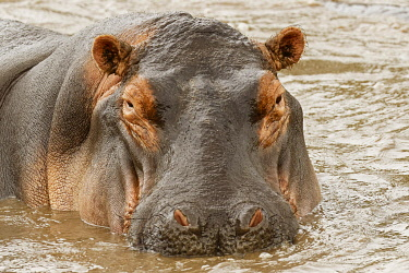 AF45AJE0325 Hippopotamus, Serengeti National Park, Tanzania, Africa.