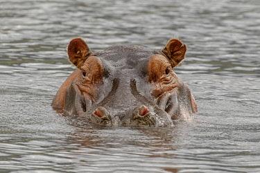 AF45AJE0355 Hippopotamus, Ngorongoro Crater, Tanzania, Africa.