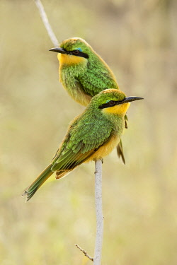 AF45AJE0383 Little bee eaters, Serengeti National Park, Tanzania, Africa.