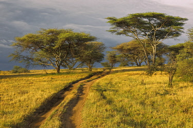 AF45AJE0385 Rural dirt road through acacia forest in evening light, Serengeti National Park, Tanzania, Africa.