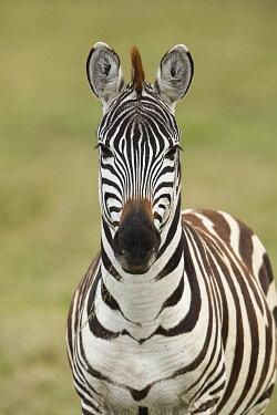 AF45AJE0390 Burchell's Zebra, Serengeti National Park, Tanzania, Africa.