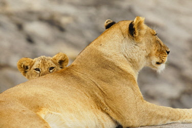 AF45AJE0398 Lion cub, Serengeti National Park, Tanzania, Africa.