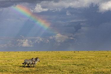 AF45AJE0409 Burchell's zebra and rainbow, Serengeti National Park, Tanzania, Africa.