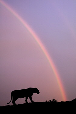 AF45AJE0417 Double rainbow and silhouetted lioness at sunset, Serengeti National Park, Tanzania.