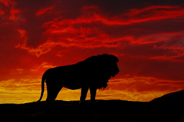 AF45AJE0420 Large black maned male Lion, silhouetted at sunset, Serengeti National Park, Tanzania, Africa.
