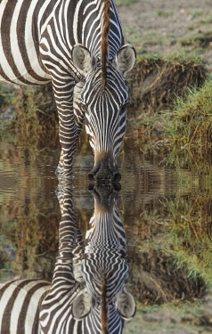 AF45AJE0441 Burchell's Zebra drinking and reflection in pool of water, Serengeti National Park, Tanzania, Africa.
