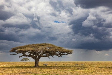 AF45AJE0445 Acacia trees and approaching storm clouds and rain, Serengeti National Park, Tanzania, Africa.