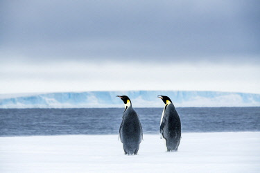 AN02DPD0025 Snow Hill Island, Antarctica. Two adult Emperor penguins have traveled to the edge of the ice shelf to fish.
