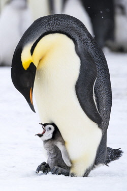 AN02DPD0082 Snow Hill Island, Antarctica. Emperor penguin parent with tiny chick on feet begging.