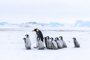 AN02DPD0105 Snow Hill Island, Antarctica. Emperor penguin chicks tag along with any adult for security.
