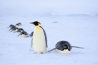 AN02DPD0110 Snow Hill Island, Antarctica. Adult Emperor penguins tobogganing to save energy while traversing the ice.
