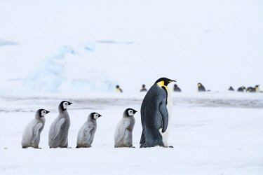 AN02DPD0117 Snow Hill Island, Antarctica. Emperor penguin chicks follow the leader.