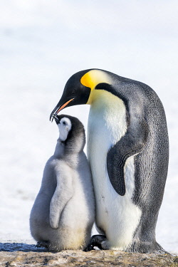 AN02DPD0176 Snow Hill Island, Antarctica. Emperor penguin parent bonding with chick.